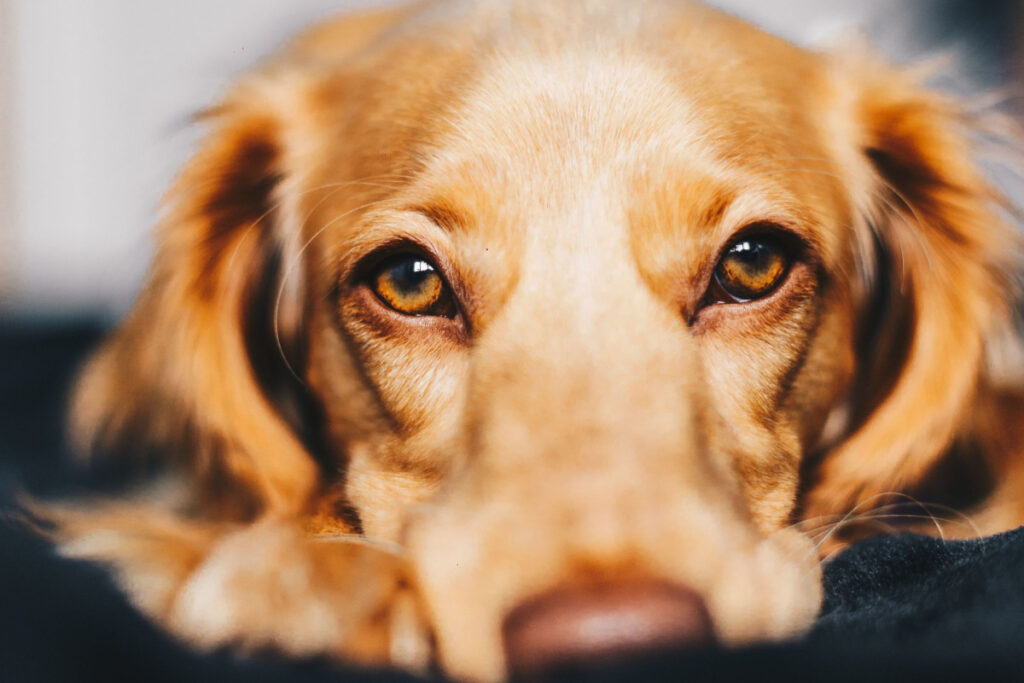 Obedience Training For Older Dogs