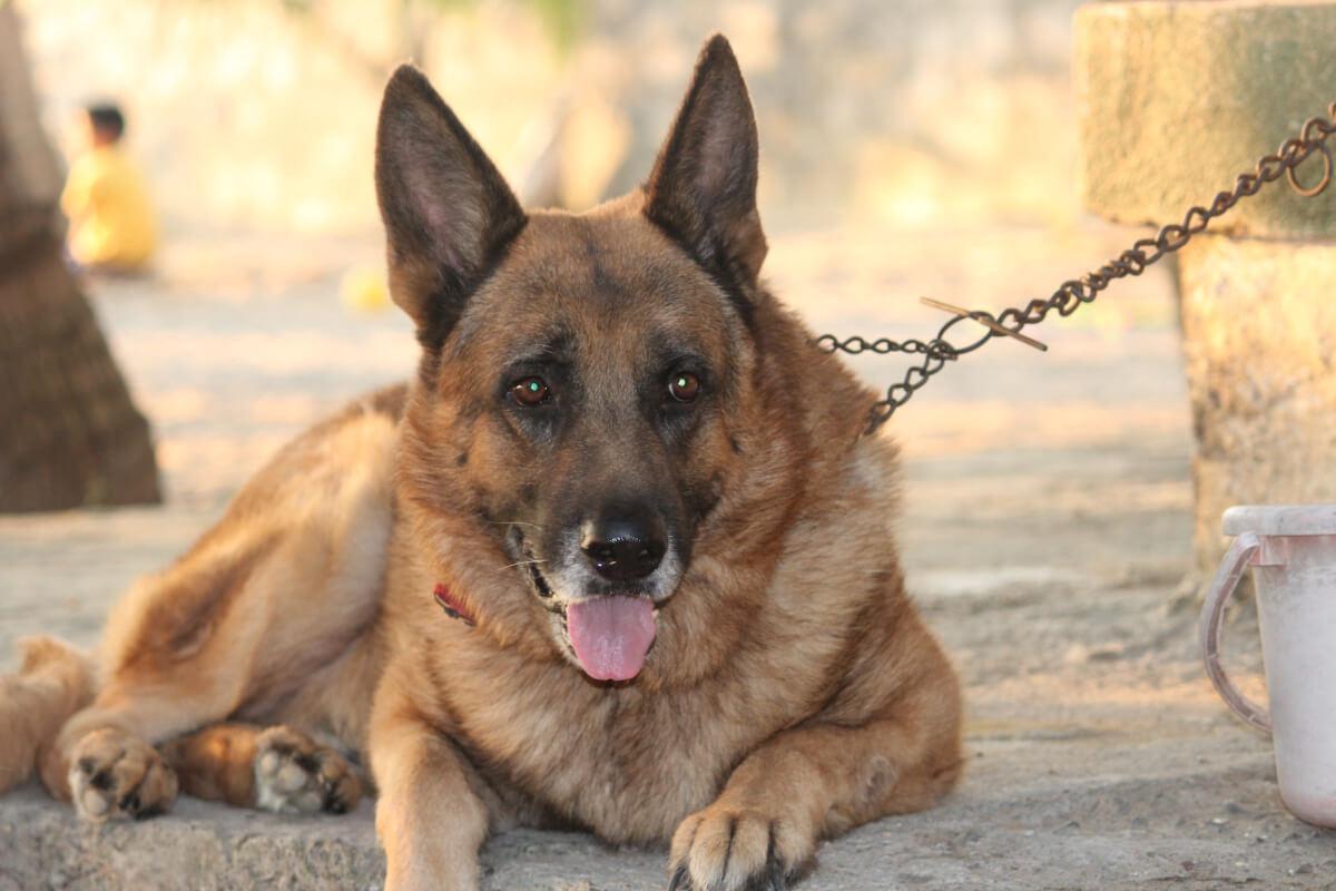 German Shepherd Dog Training Tips